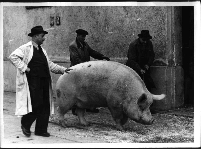 Ein Schwein mit über 500 kg Lebendgewicht in St. Marx