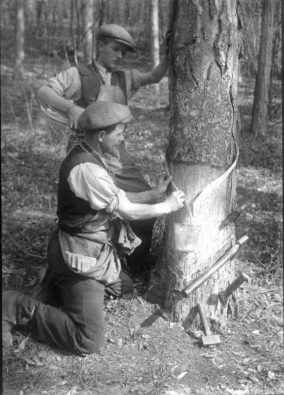 Rindenschneider im Piestinger Wald