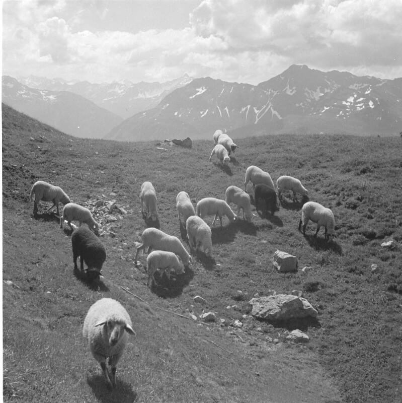 Schafe in den Rätischen Alpen