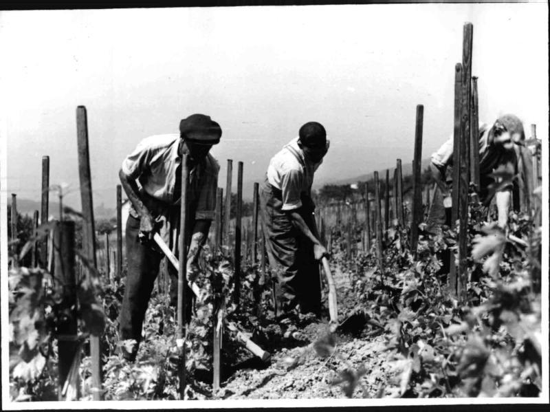 Arbeit im Weinberg