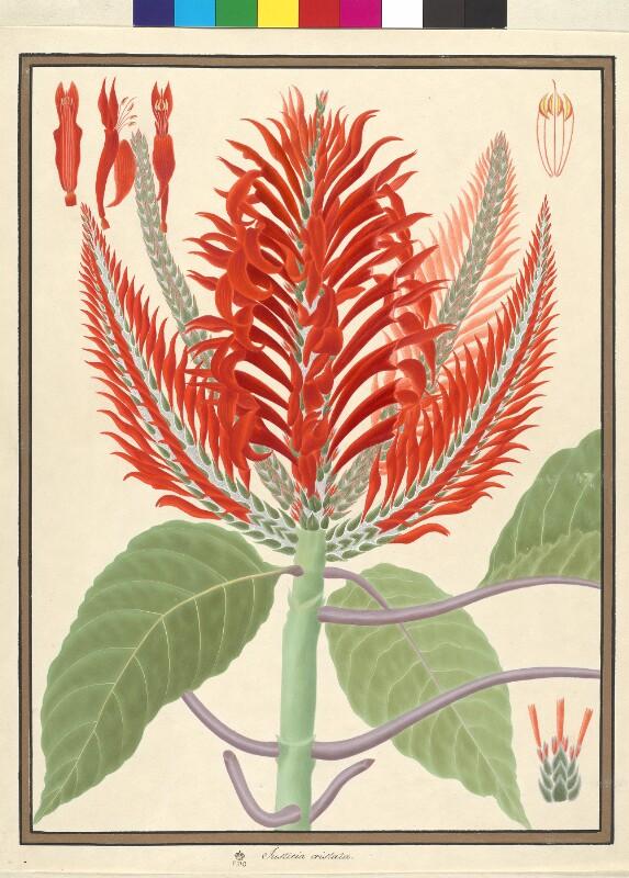 Aphelandra cristata