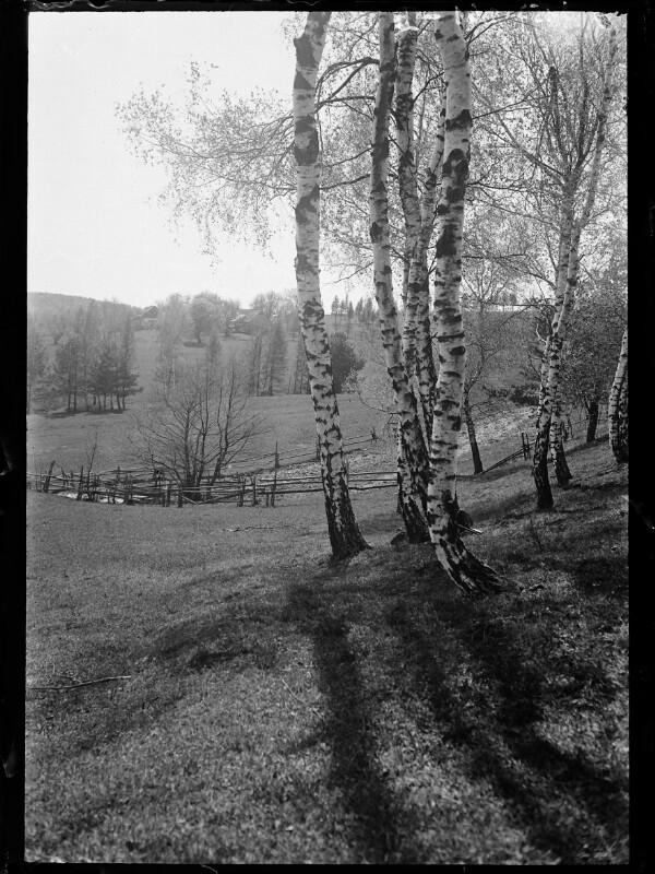 Birken im Wienerwald bei Hochstraße