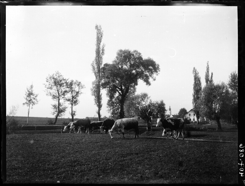 Weidende Kühe am Rand des Erdinger Moos, Bayern