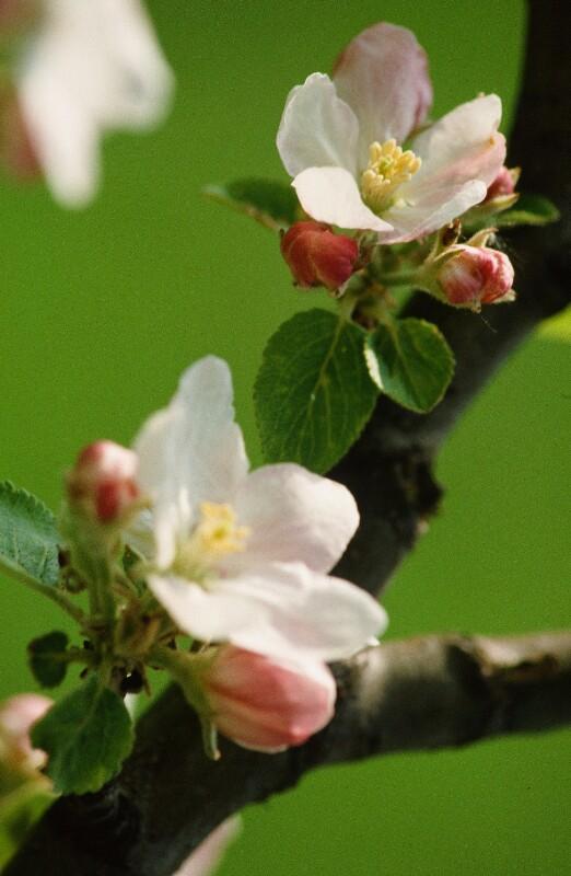 Apfelblüten auf Zweig