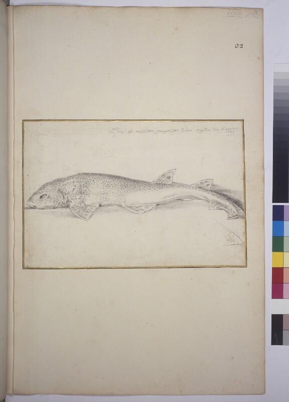 Großgepunkteter Katzenhai