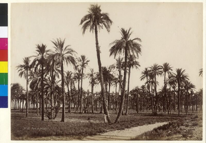 Palmenhain,  Ägypten