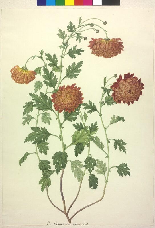 Chrysanthemum indicum, bicolor