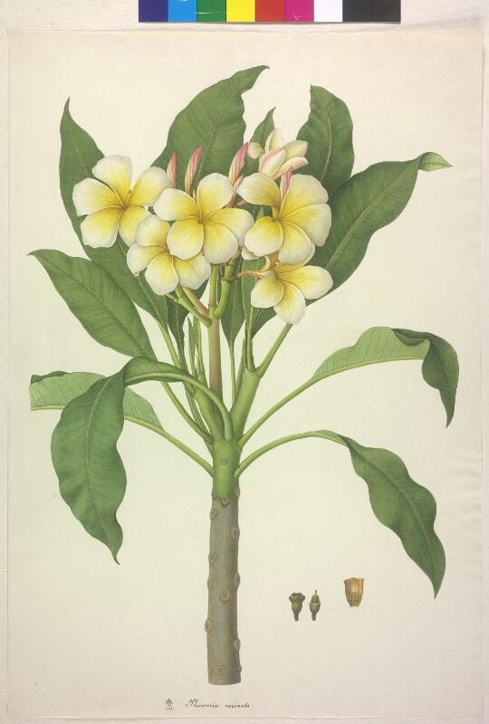 Plumeria carinata