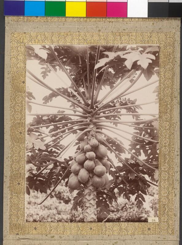 Palme mit Früchten