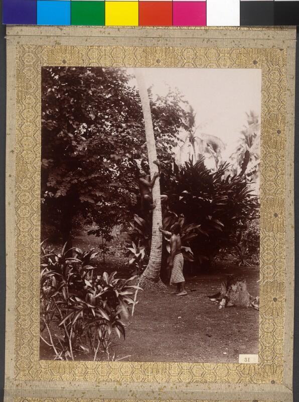 Einheimische klettern auf eine Kokospalme