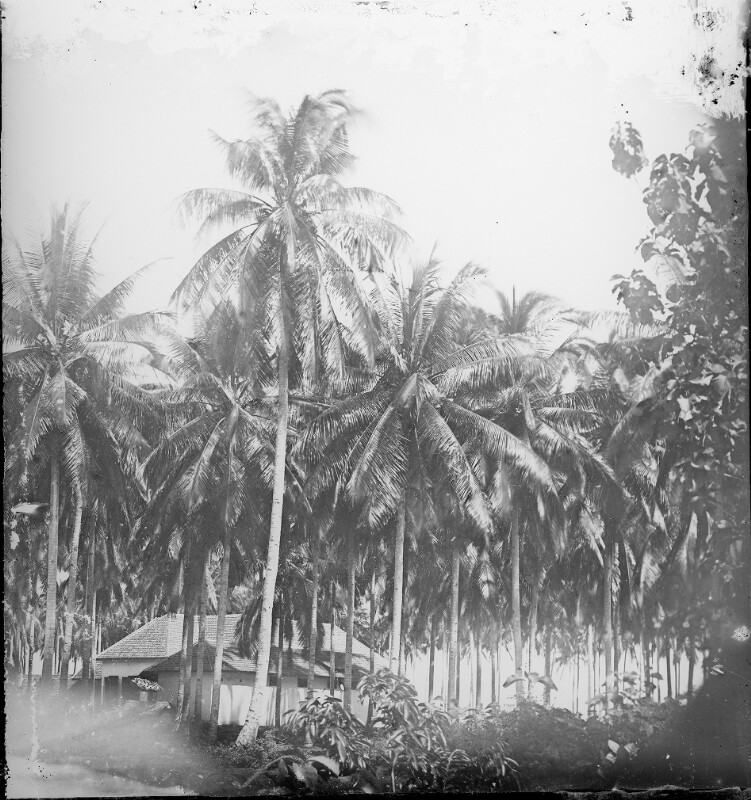 Palmenhain bei Anjer