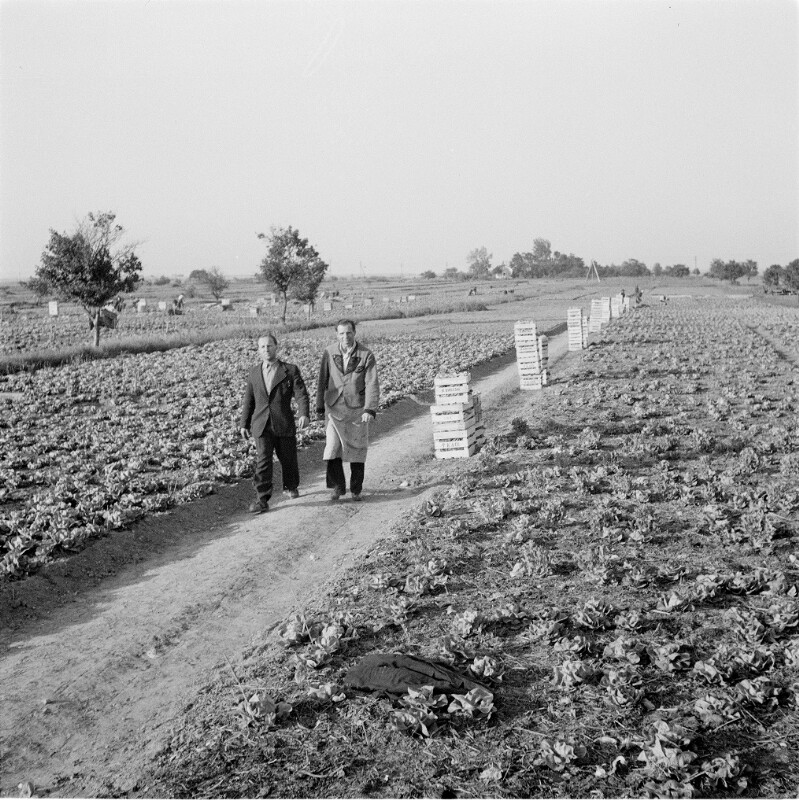 Salatkulturen am Neusiedlersee