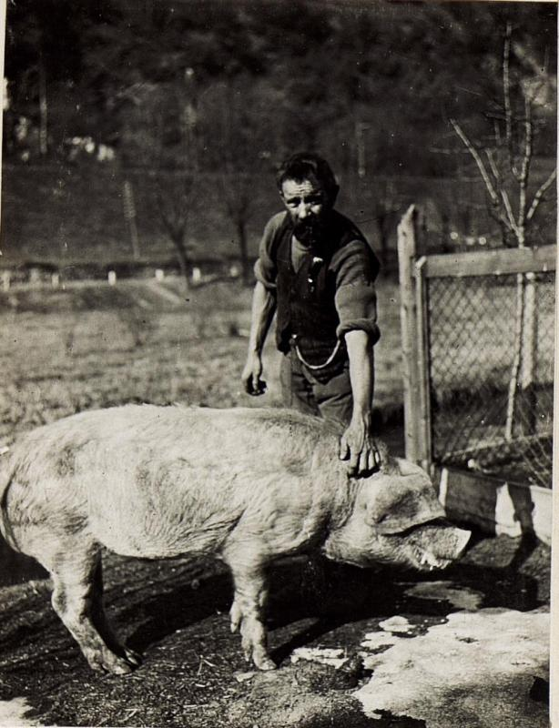 Bilder von der Schweinezucht des Korps - Proviantamtes.