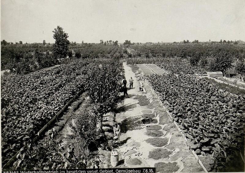Wirtschaftsbetrieb im besetzten venetischen Gebiet, Gemüsebau
