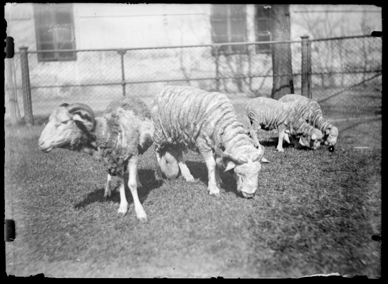Grasende Schafe von Schmutzer, Ferdinand