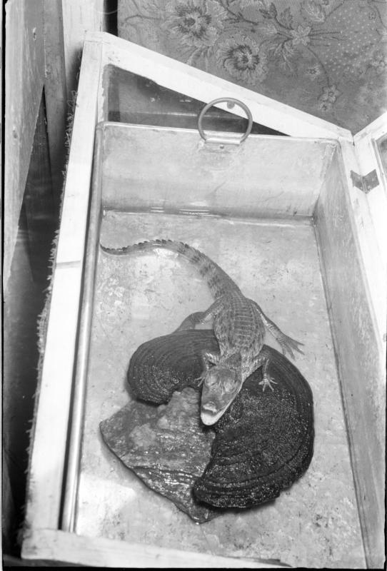 Kleines Krokodil in einer Kiste. Wiener Schlangenfänger Weis und Litschauer vor ihrer Abfahrt nach Afrika von Scheidl