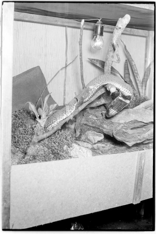 Schlange in einem Terrarium. Wiener Schlangenfänger Weis und Litschauer vor ihrer Abfahrt nach Afrika von Scheidl