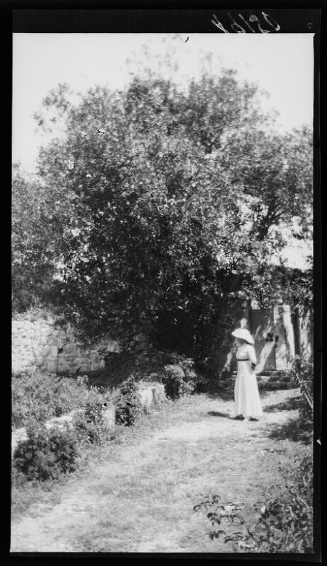 Olivenbaum in Trsteno