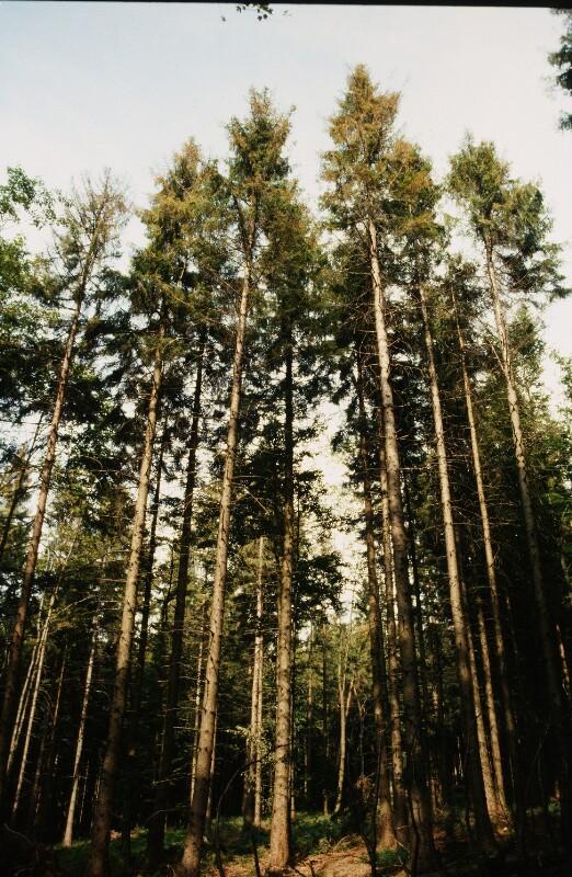 Baumschäden durch die Fichtengebirgsblattwespe von Wenzel-Jelinek, Margret