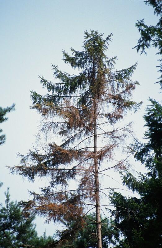 Baumschadien durch Buchdrucker (Borkenkäferart) von Wenzel-Jelinek, Margret