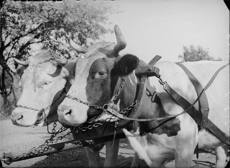 Kühe von Österreichische Lichtbildstelle