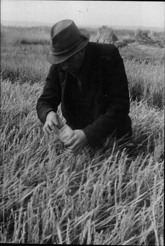 Ein Mann steht in einem Kornfeld und sammelt Getreide-körner