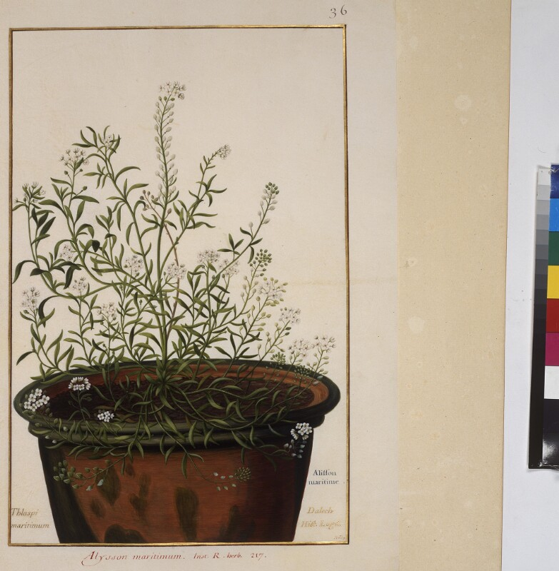 Cod. Min. 53, Bd. 1, fol. 36r: Florilegium des Prinzen Eugen von Savoyen: Alysson maritiumum - Strand-Silberkraut