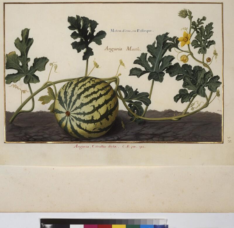 Cod. Min. 53, Bd. 2, fol. 58r: Florilegium des Prinzen Eugen von Savoyen: Wassermelone von Robert, Nicolas