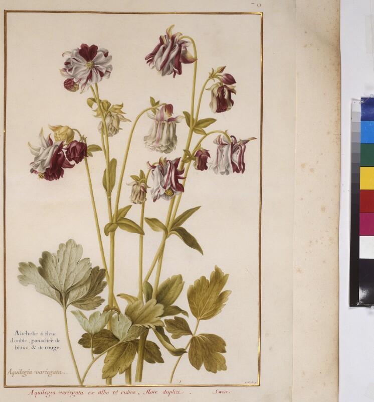 Cod. Min. 53, Bd. 2, fol. 70r: Florilegium des Prinzen Eugen von Savoyen: Aquilegia - Akelei von Robert, Nicolas
