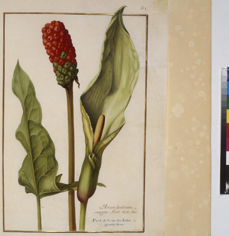 Cod. Min. 53, Bd. 2, fol. 81r: Florilegium des Prinzen Eugen von Savoyen: Arum Indicum - Aronstab von Robert, Nicolas