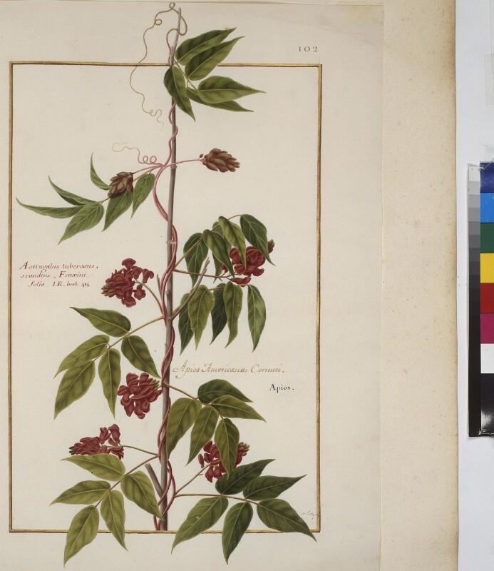 Cod. Min. 53, Bd. 3, fol. 102r: Florilegium des Prinzen Eugen von Savoyen: Astragalus - Tragant