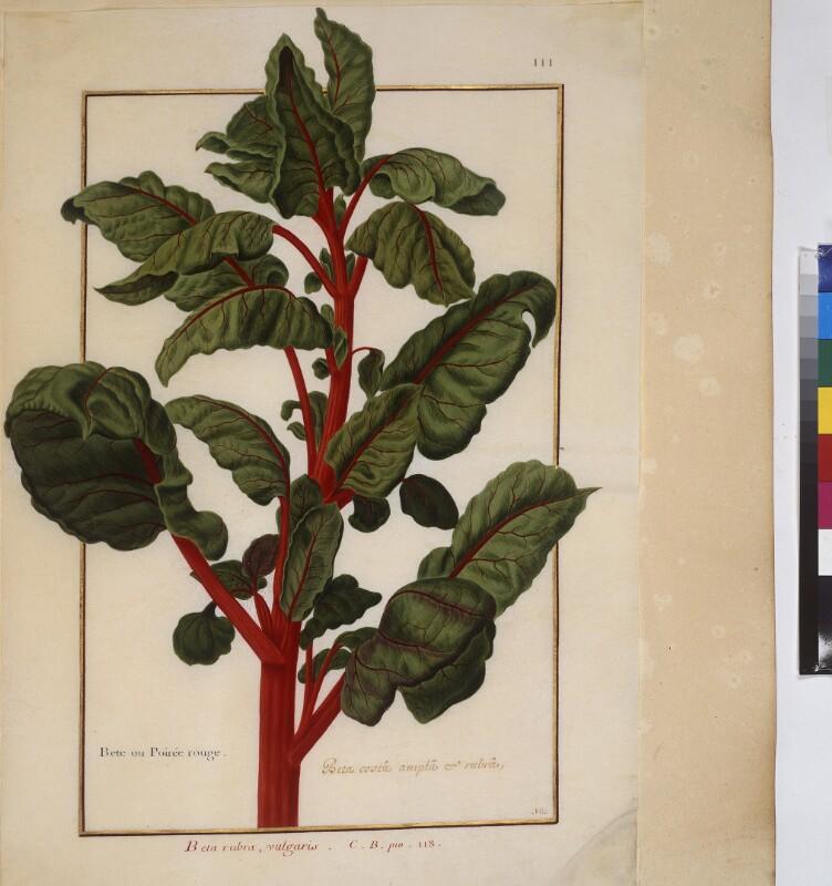 Cod. Min. 53, Bd. 3, fol. 111: Florilegium des Prinzen Eugen von Savoyen: Beta rubra - Rote Bete