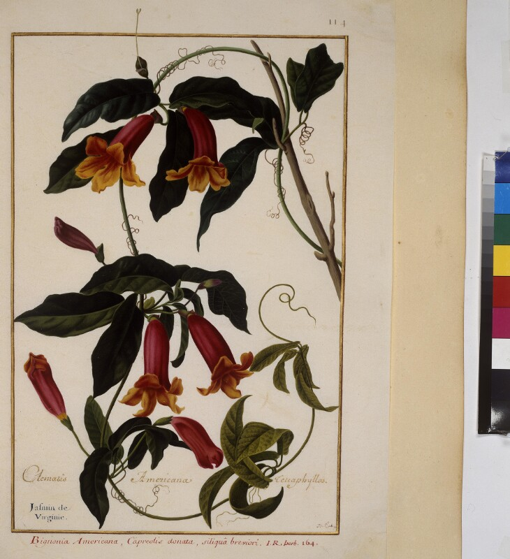 Cod. Min. 53, Bd. 3, fol. 114r: Florilegium des Prinzen Eugen von Savoyen: Clematis Americana Celzaohyllos - Klematis