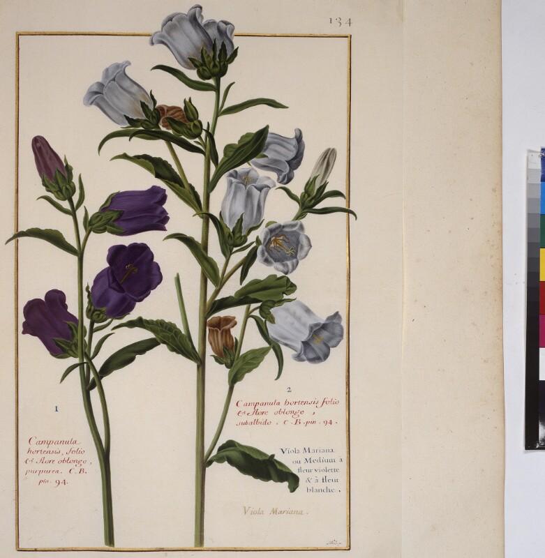 Cod. Min. 53, Bd. 3, fol. 134r: Florilegium des Prinzen Eugen von Savoyen:  Campanula hortensis -  Glockenblume